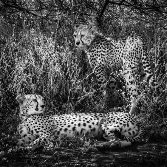 Two cheetahs 2