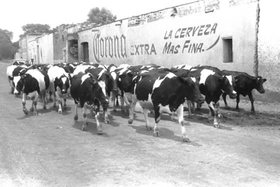 Vacas corona