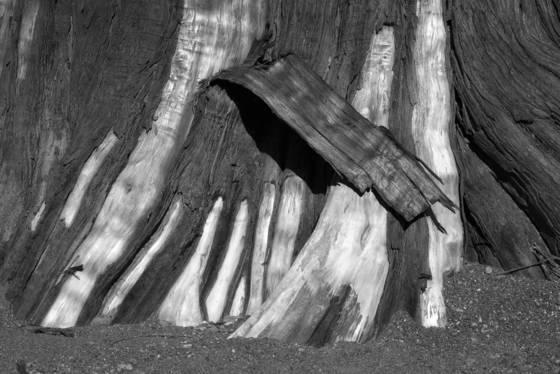 Old growth stump 1