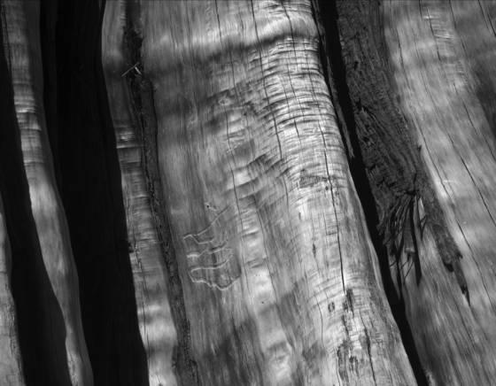 Old growth stump 6