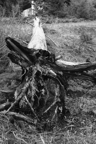 Scenic root 12