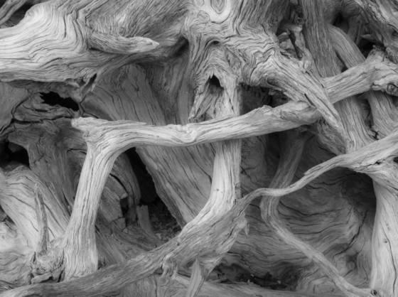 Ancient whitebark pine