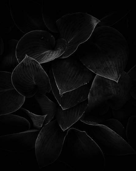 Hosta studies ii  10