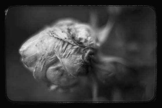 Heritage rose bud