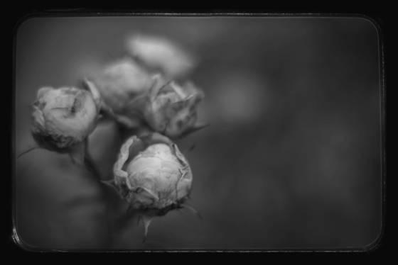 Heritage rose buds