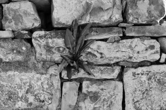 Flower in a cranny of an ancient stone wall