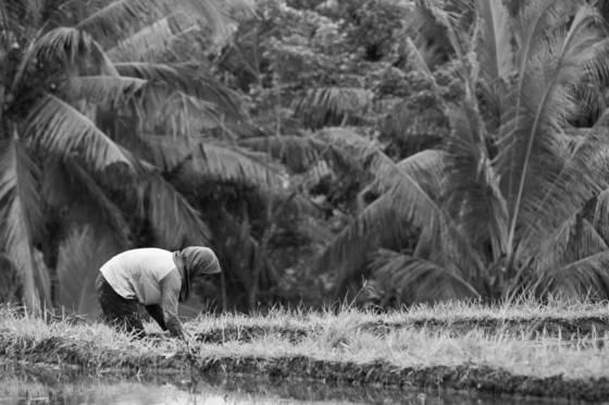 La culture du riz