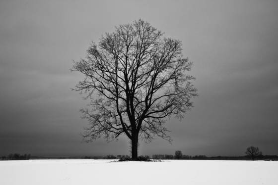 Winter oak in snow 2