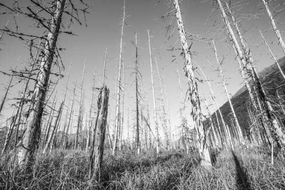 1964 good friday earthquake trees