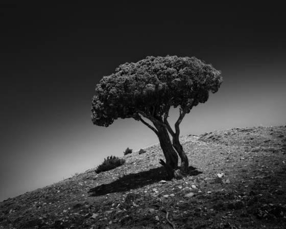 The broccoli tree
