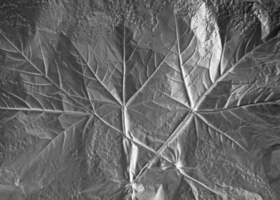 Leaf impression  19