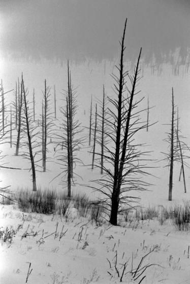 Charred saplings