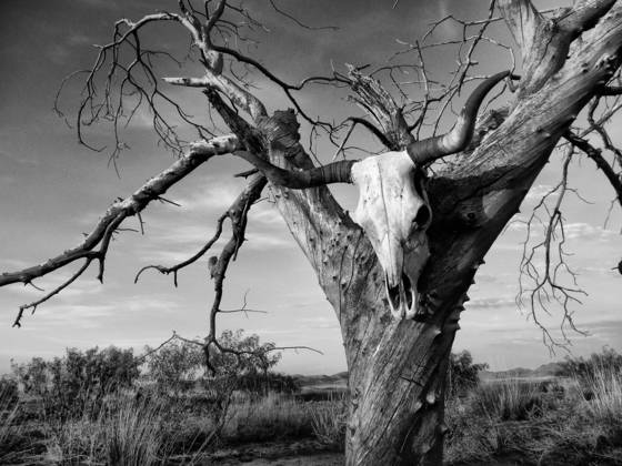 Cow skull on tree