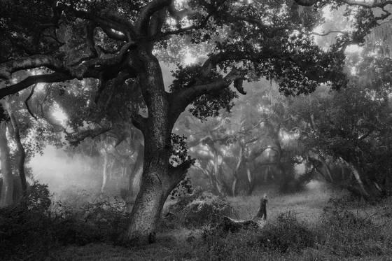 Ancient oaks i