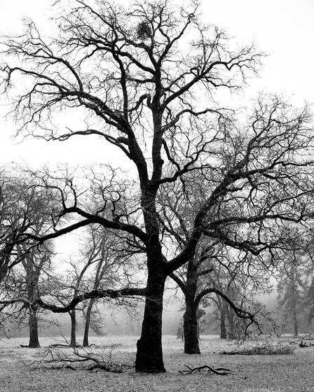 Oaks in valley