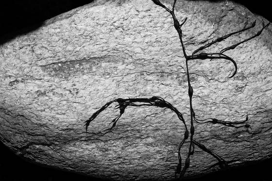Rock   kelp