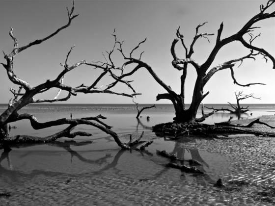 Dead oak on beach