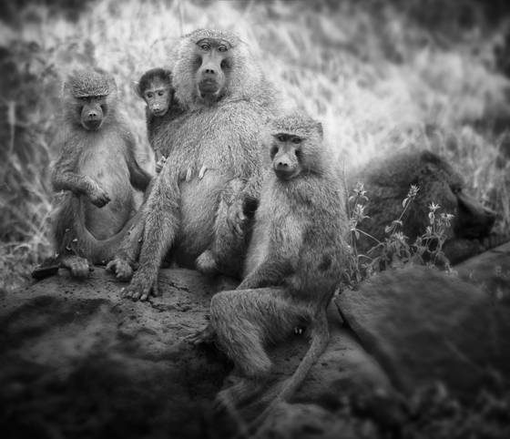 Baboon family portrait