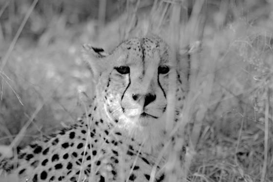 Patient leopard