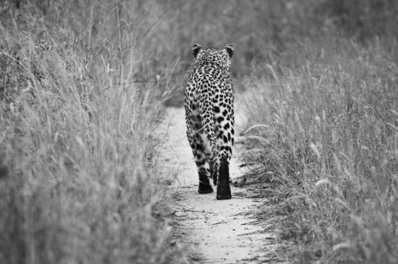Leopard on trail
