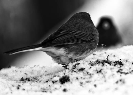 Junco reflection