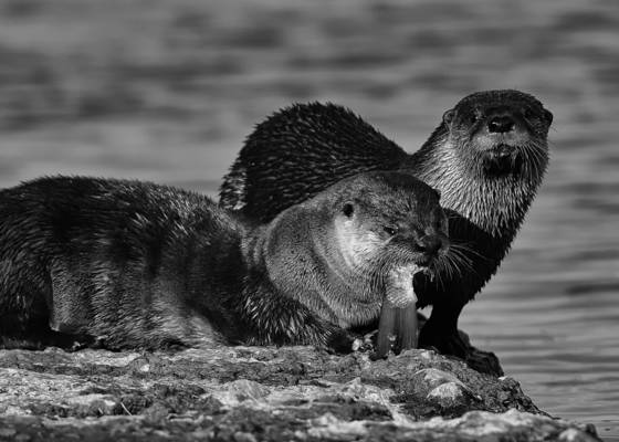 River otters feeding