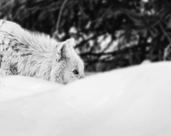 Arctic wolf in search