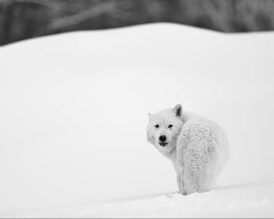 Arctic wolf looking back
