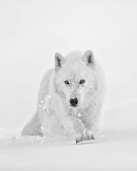 The arctic wolf s pursuit
