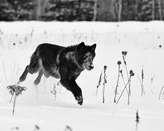 The gray wolf lunges