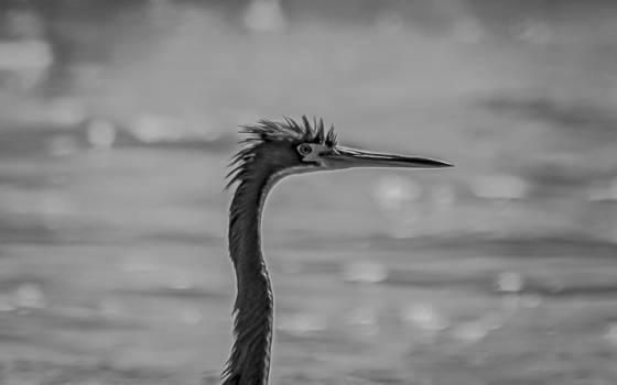 Cormorant with mohawk