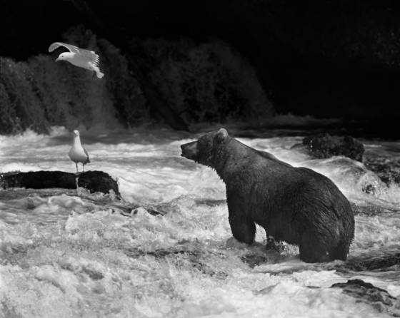 Brown bear and seagull