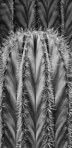 Striated cactus
