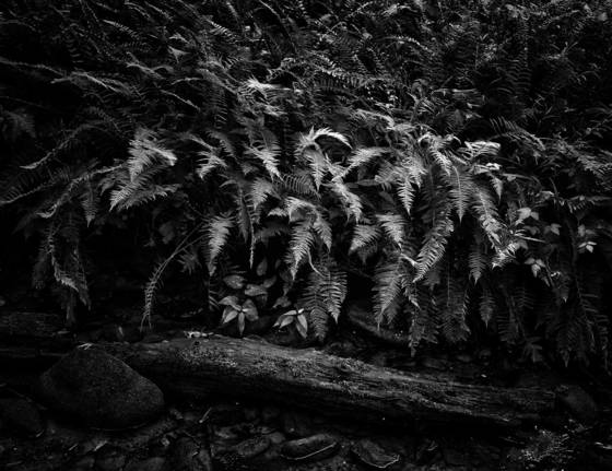 Ferns with log