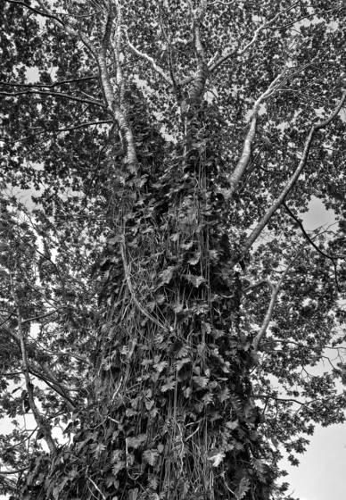 A tree near akaka falls