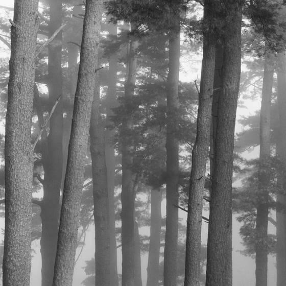 Pines in fog