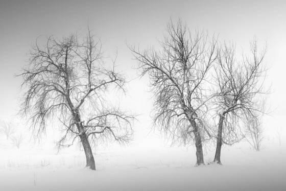 Snowy trees study no 2