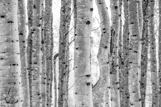 Snowfall aspens
