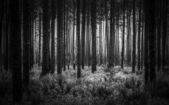 Swamp pines