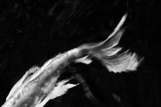 Koi abstract 12