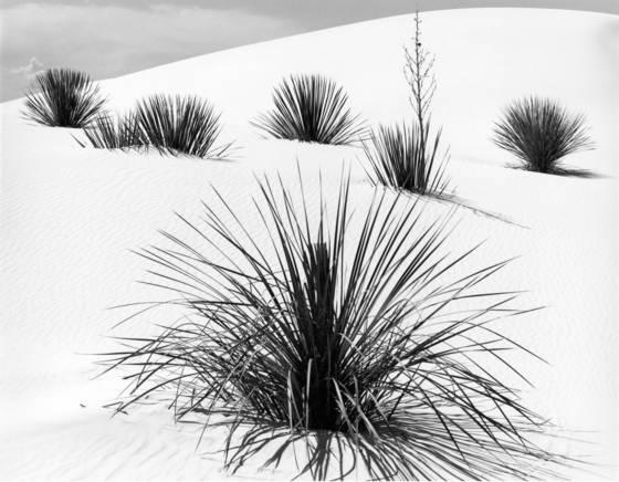 Six yucca