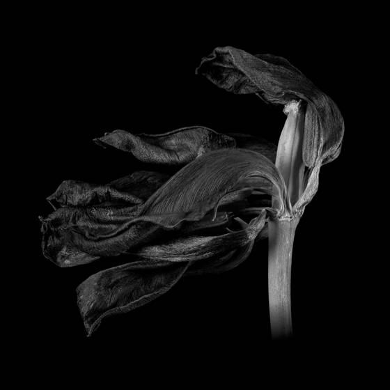 Tulip no 34