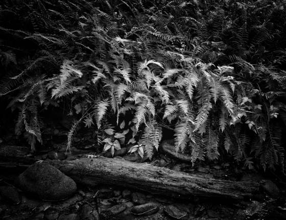 Ferns of cades cove