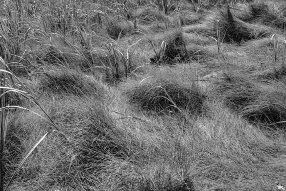 Estuary grasses