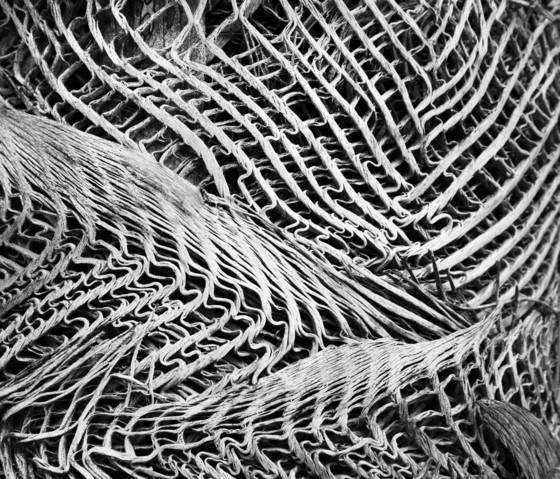 Miraguana palm trunk