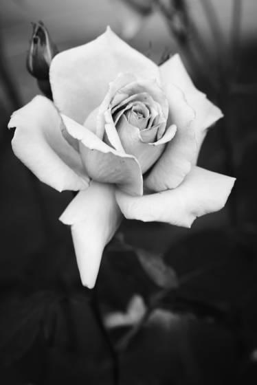Il giardino delle rose 1