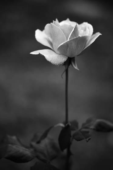 Il giardino delle rose 2