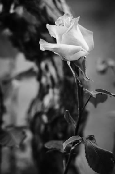 Il giardino delle rose 5