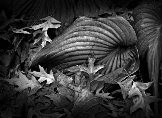 Reclining hosta leaf