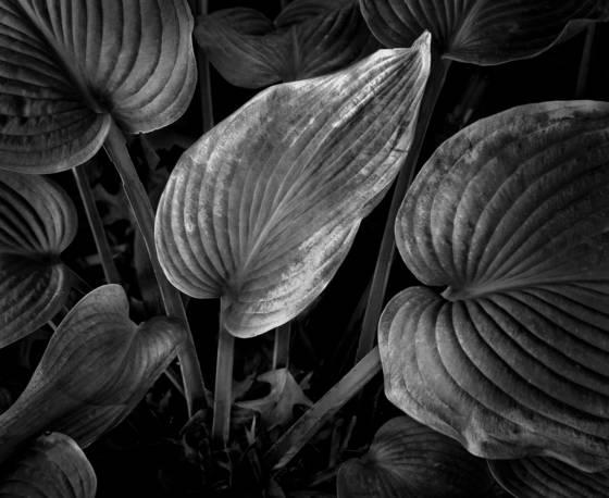 Sunlit wilted leaf